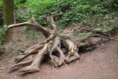 Legno della radice dell'albero Immagini Stock
