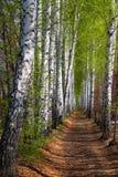 legno della sorgente della betulla del vicolo Fotografia Stock