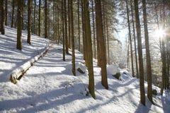 Legno dello Snowy Immagini Stock Libere da Diritti