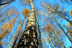 In legno di betulla Fotografie Stock