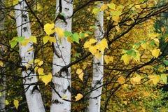 legno di betulla Immagine Stock