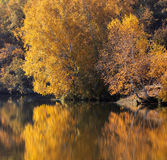 Legno di betulla in autunno Fotografia Stock Libera da Diritti