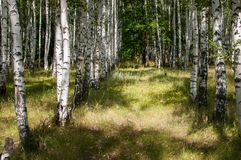 Legno di betulla di estate fotografie stock libere da diritti