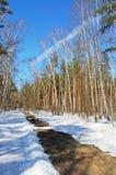 Legno di betulla in giorno di sorgente solare Fotografia Stock Libera da Diritti