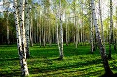 Legno di betulla in Russia Fotografie Stock Libere da Diritti