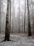 Legno di betulla sotto neve Immagine Stock Libera da Diritti