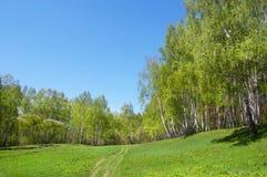 Legno di betulla su una collina Fotografie Stock