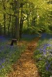Legno di Bluebell fotografia stock libera da diritti
