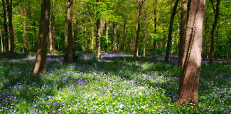 Legno di Bluebell con la vista di alberi Fotografia Stock