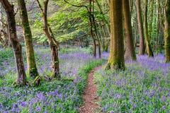 Legno di Bluebell della primavera Immagini Stock