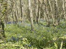 Legno di Bluebell di inglese nella primavera Immagini Stock