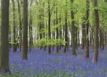 Legno di Bluebell in Inghilterra Immagini Stock Libere da Diritti