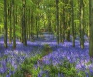 Legno di Bluebell, legno di Dockey, Hertfordshire Fotografie Stock Libere da Diritti