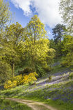 Legno di Bluebell nell'arboreto di Winkworth fotografie stock libere da diritti