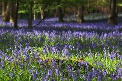 Legno di Bluebell in primavera Fotografie Stock