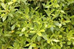 Legno di bosso - foglie e germogli Immagini Stock Libere da Diritti