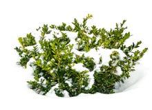 Legno di bosso di verde di Bush sotto neve fotografie stock