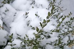 Legno di bosso verde coperto di neve bianca fotografia stock libera da diritti