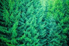 Legno di conifere Immagini Stock