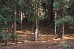 Legno di pini Immagine Stock Libera da Diritti