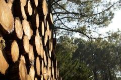 Legno di pino Fotografia Stock Libera da Diritti