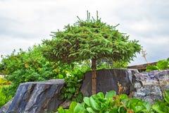 Legno di pino con la corona modellata della disposizione fra la pietra naturale Immagine Stock