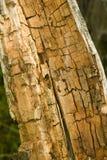 Legno di quercia marcio e decomposto immagini stock
