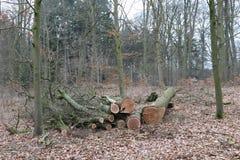 Legno di quercia segato del tronco di albero Immagine Stock