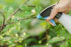 Legno di spruzzatura della ciliegia dai parassiti Fotografie Stock Libere da Diritti