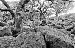 Legno di Wistmans in Devon - dove gli alberi si sviluppano fuori dai massi immagini stock