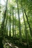 Legno magico verde della foresta del faggio fotografie stock