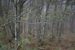 Legno nebbioso al crepuscolo fotografia stock libera da diritti