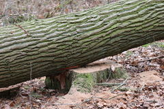 Legno segato del tronco di albero Fotografia Stock