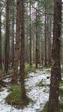 Legno senza fine dell'Alaska immagine stock