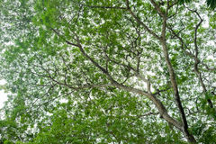 Legno verde Fotografie Stock Libere da Diritti
