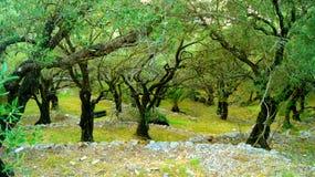 Legno verde oliva Fotografia Stock Libera da Diritti