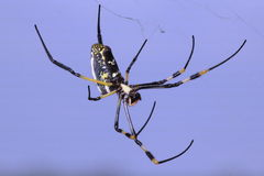 Legs. A adult female Golden-orb Spider royalty free stock photography