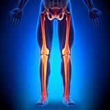 Legs - Anatomy Bones. Medical imaging Stock Image