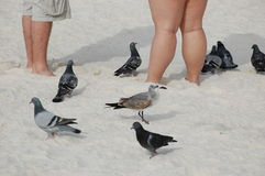 Legs and birds. Feeding the seagulls and the pidgeons on the beach Royalty Free Stock Images