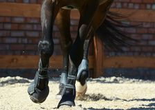 Legs of a sports horse in motion. Equestrian sport in details. Legs of a dark bay sports horse in motion. Equestrian sport in details royalty free stock image