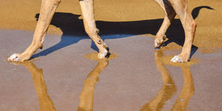 Legs of a dog reflecting in water on the beach Stock Images