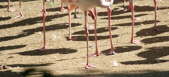 Legs of a flamingo. (the flamingo sleep Stock Photos