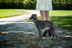Legs of the girl  with greyhound in the park Stock Photos