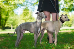 Legs of the girl  with two greyhounds Royalty Free Stock Photo