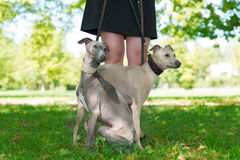 Legs of the girl and   two greyhounds Royalty Free Stock Photos