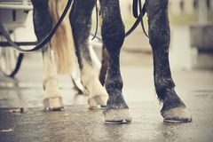 Legs of the horse harnessed in the carriage. Stock Photography