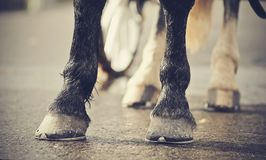 Legs of the horse harnessed in the carriage. Horse-drawn transport. Legs of the horse harnessed in the carriage stock images