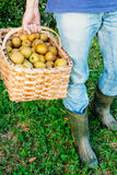 Legs of a man carrying a basket of pipping apples Royalty Free Stock Photo