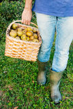 Legs of a man carrying a basket of pipping apples Stock Photography