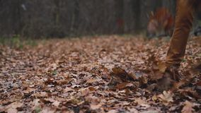 Legs of a man who walks through the autumn forest and kicks the fallen leaves close up. Slow motion stock video